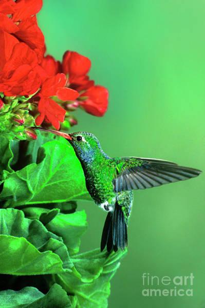 Photograph - Male Broad-billed Hummingbird Cynanthus Latrostis Wild Arizona by Dave Welling