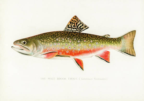 Drawing - Male Brook Trout by David Letts