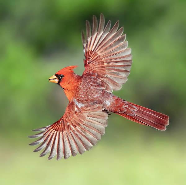 Photograph - Male Cardinal In Flight by Scott Bourne