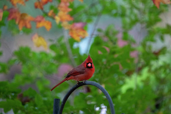 Photograph - Male Cardinal On Iron Grate by Dan Friend
