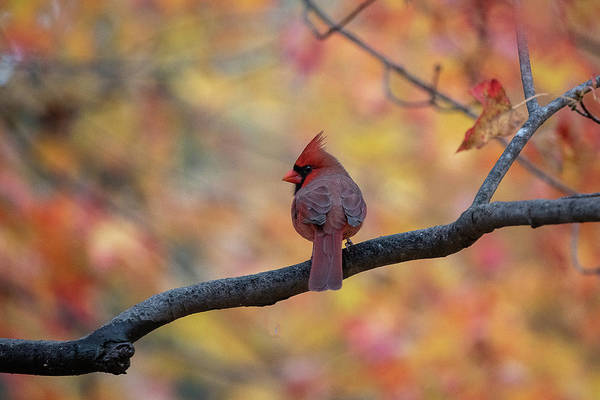 Photograph - Male Cardinal Perched On Limb by Dan Friend