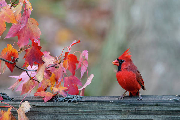 Photograph - Male Cardinal With Head Crest  by Dan Friend