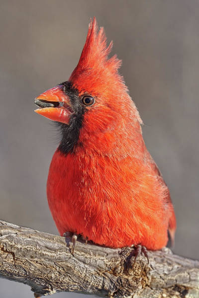 Photograph - Male Cardinal With Sunflower Seed by Jim Hughes