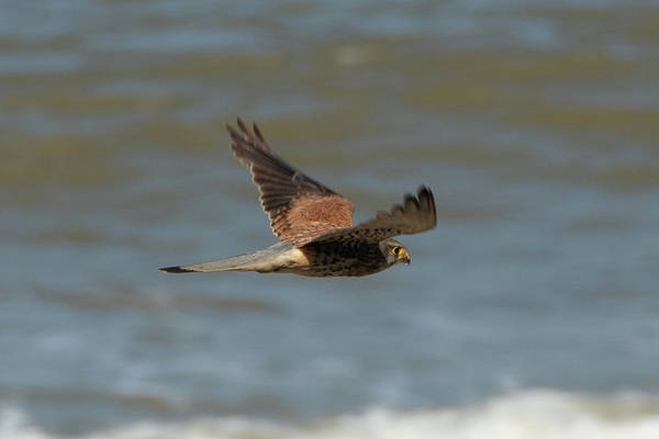 Photograph - Male Common Kestrel In Happisburgh Norfolk Side View by Scott Lyons