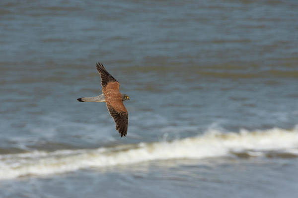 Photograph - Male Common Kestrel In Happisburgh Norfolk Top View by Scott Lyons