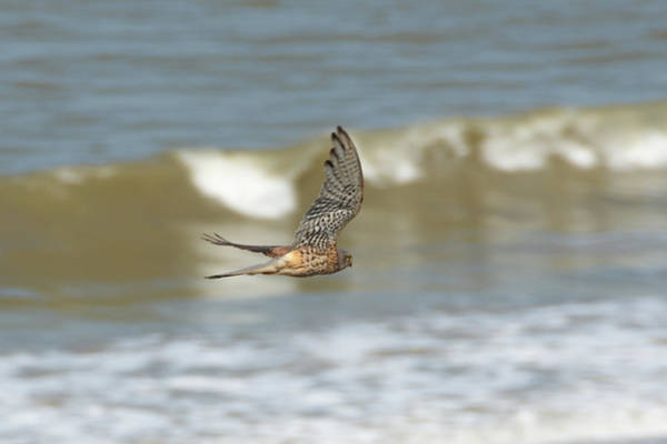 Photograph - Male Common Kestrel In Happisburgh Norfolk Underwing View by Scott Lyons