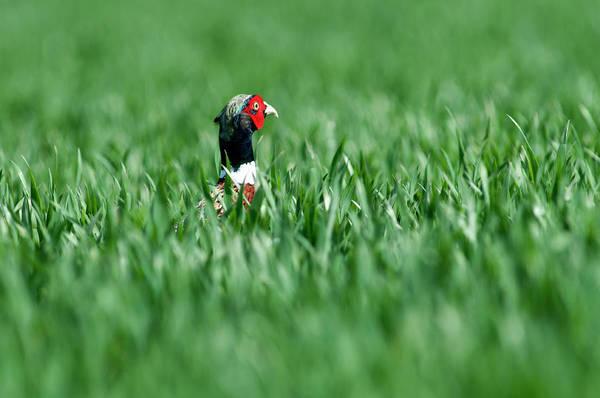 Pheasant Photograph - Male Common Pheasant ,phasianus by Chris Laurens
