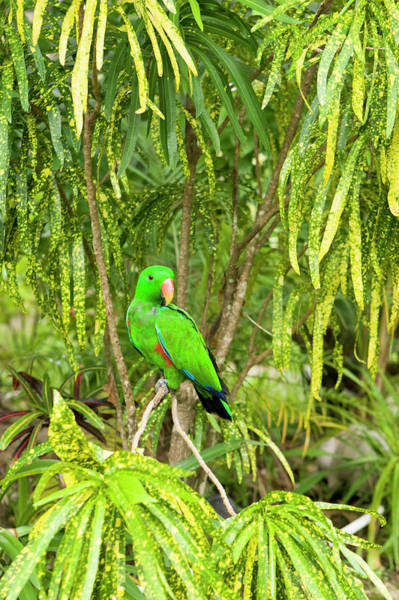 Eclectus Parrots Photograph - Male Eclectus Parrot Eclectus Roratus by Michele Westmorland