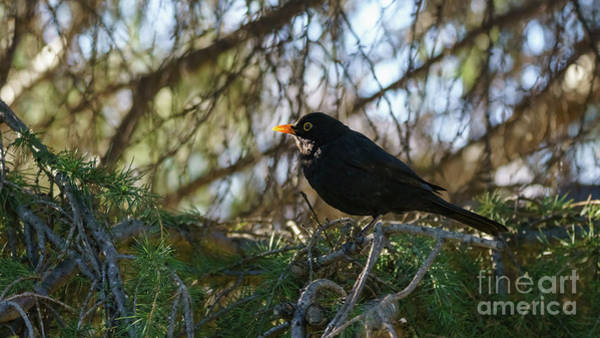 Photograph - Male Eurasian Blackbird Turdus Merula by Pablo Avanzini