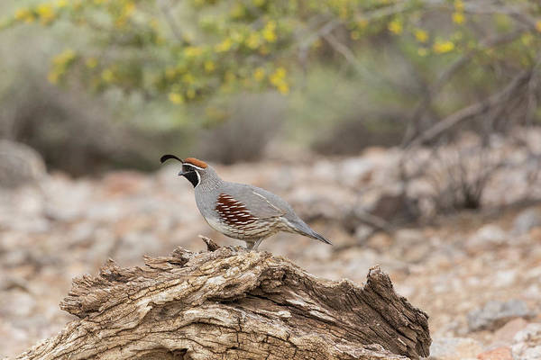 Wall Art - Photograph - Male Gambel's Quail Stands On A Log by Brenda Tharp