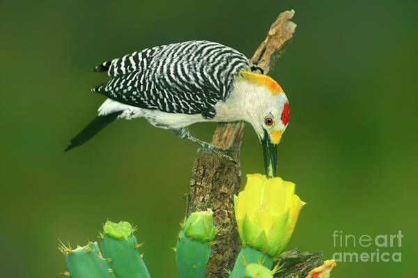 Photograph - Male Golden-fronted Woodpecker Feeding Texas  by Dave Welling