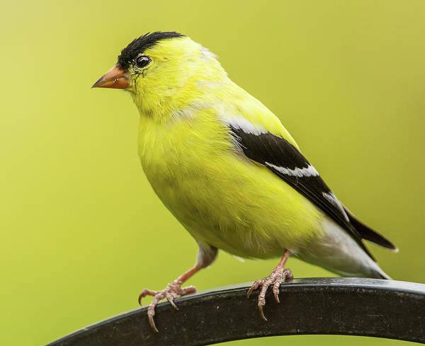 Bethesda Photograph - Male Goldfinch by Edward H. Pien