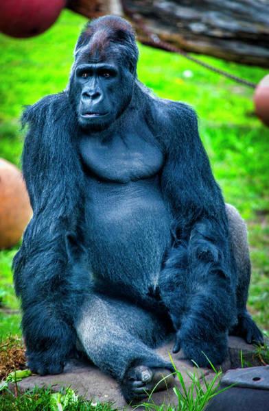 Wall Art - Photograph - Male Gorilla  by Garry Gay