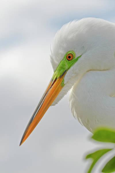Wall Art - Photograph - Male Great Egret, Ardea Alba, Florida by Adam Jones
