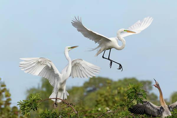 Wall Art - Photograph - Male Great Egrets Fighting, Ardea Alba by Adam Jones