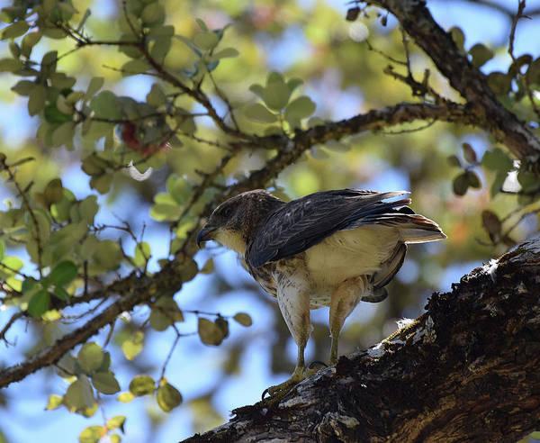 Photograph -  Male Hawaiian Hawk by Pamela Walton