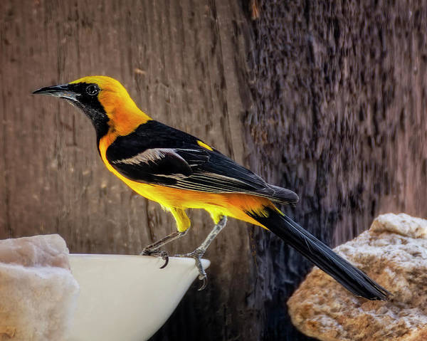 Photograph - Male Hooded Oriole H1936 by Mark Myhaver