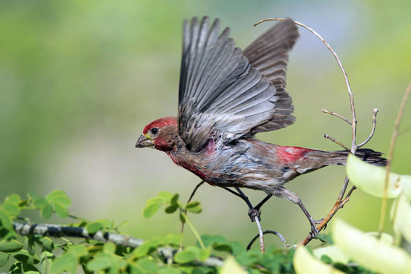 Photograph - Male House Finch 9859-051219 by Tam Ryan