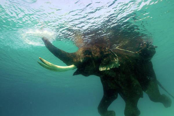 Underwater Scene Photograph - Male Indian Elephant Elephas Maximus by Astrid Schweigert