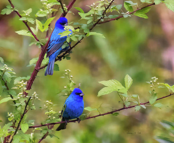 Photograph - Male Indigo Buntings by Bellesouth Studio