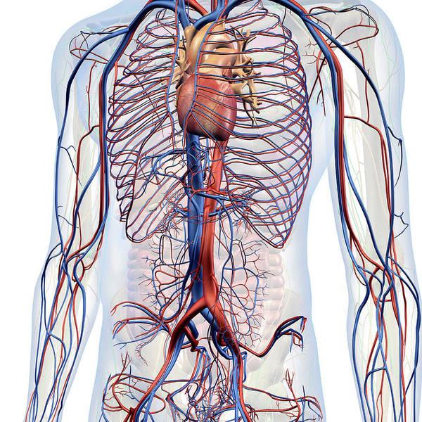 Wall Art - Photograph - Male Internal Anatomy Of Heart by Hank Grebe