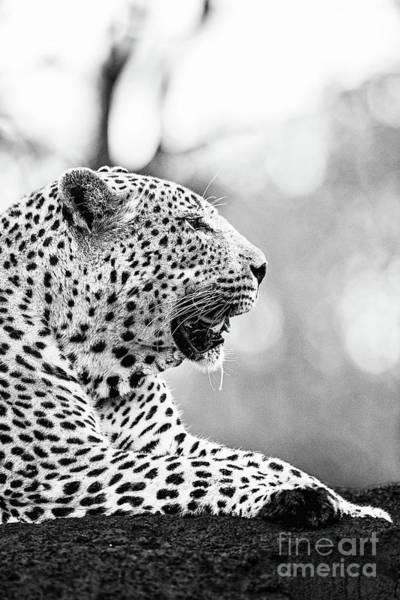 d2c2e3d0aecc Leopard Skin Wall Art - Photograph - Male Leopard - Bw by Scott Pellegrin