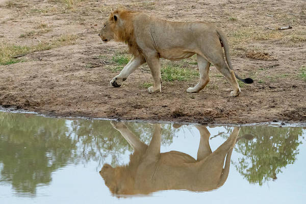 Photograph - Male Lion And His Reflection by Mark Hunter