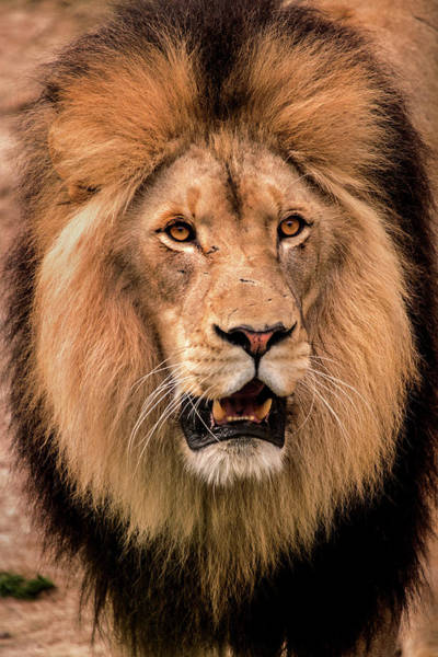 Photograph - Male Lion-dc by Don Johnson