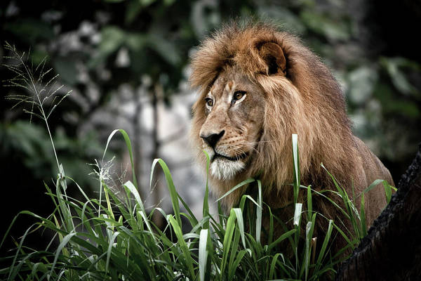 Chiang Mai Province Photograph - Male Lion Looks On At Chiang Mai Zoo by Ed Norton