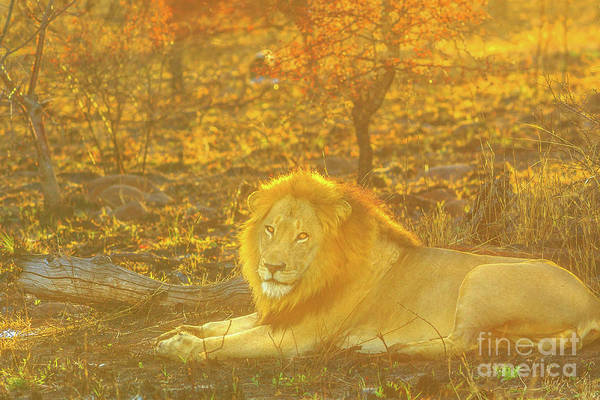 Photograph - Male Lion Lying by Benny Marty