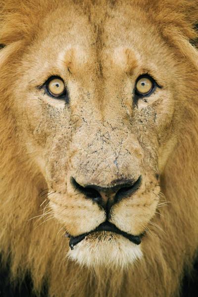 Safari Animal Photograph - Male Lion Panthera Leo, Close-up by Martin Harvey