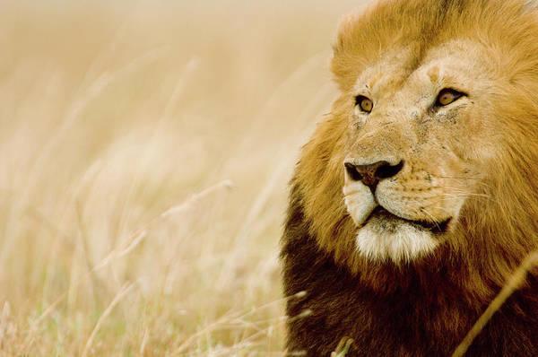 Carnivora Photograph - Male Lion Panthera Leo Portrait, Masai by Federico Veronesi