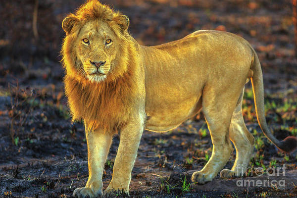 Photograph - Male Lion Standing by Benny Marty