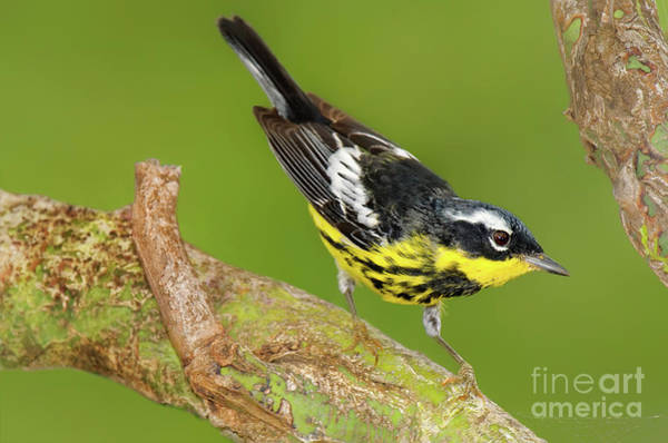 Photograph - Male Magnolia Warbler Setophaga Magnolia Wild Texas by Dave Welling