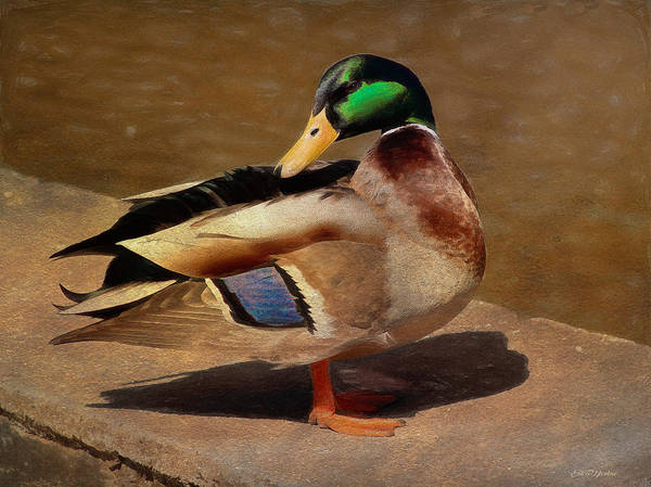 Painting - Male Mallard - Painted by Ericamaxine Price