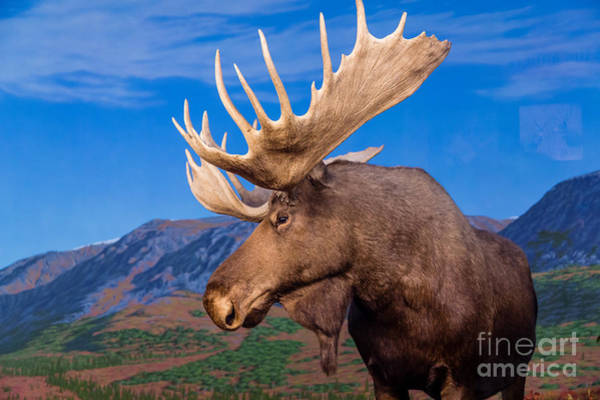 Wall Art - Photograph - Male Moose Against Backdrop Of Mountains by Darryl Brooks
