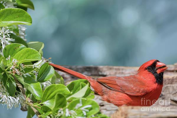 Wall Art - Photograph - Male Northern Cardinal Feeding Near Fringe Tree by Bonnie Barry