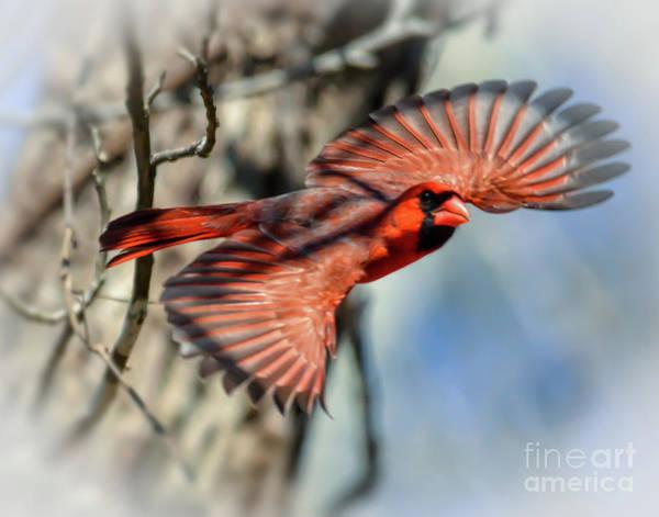 Photograph - Male Northern Cardinal In Flight  by Kerri Farley