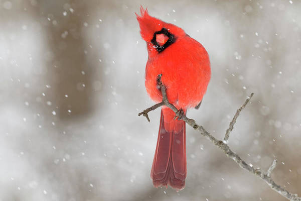 Wall Art - Photograph - Male Northern Cardinal In Snow, Kentucky by Adam Jones