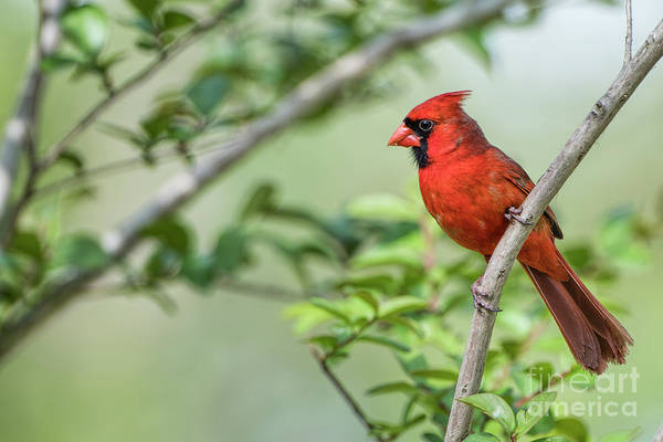 Wall Art - Photograph - Male Northern Cardinal On Crepe Myrtle Branch by Bonnie Barry