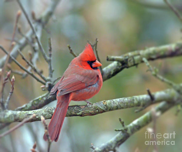 Photograph - Male Northern Cardinal - Posing On A Branch by Kerri Farley