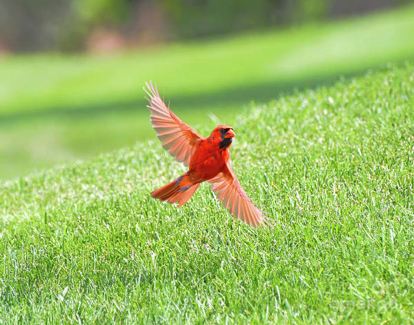 Wall Art - Photograph - Male Northern Cardinal Spreads His Wings by Kerri Farley