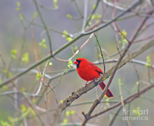 Photograph - Male Northern Cardinal Surrounded By Spring by Kerri Farley