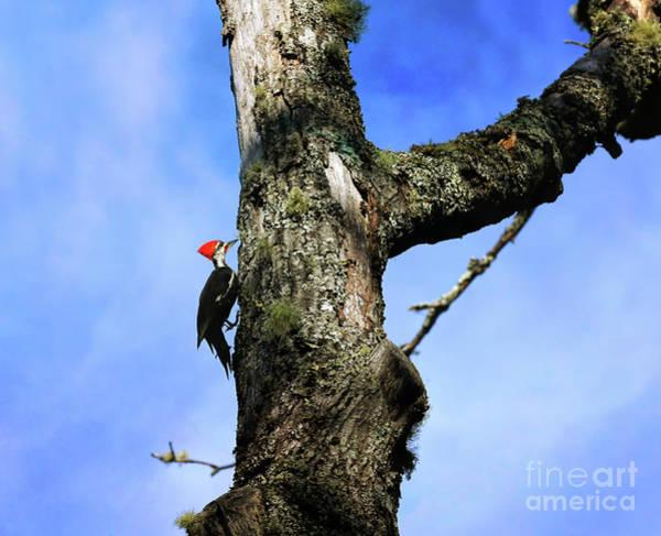 Photograph - Male Pileated Woodpecker by Kerri Farley