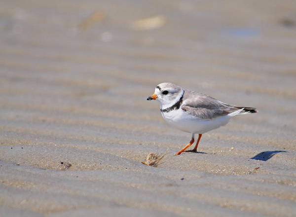 Wall Art - Photograph - Male Piping Plover At Low Tide by Mike Martin