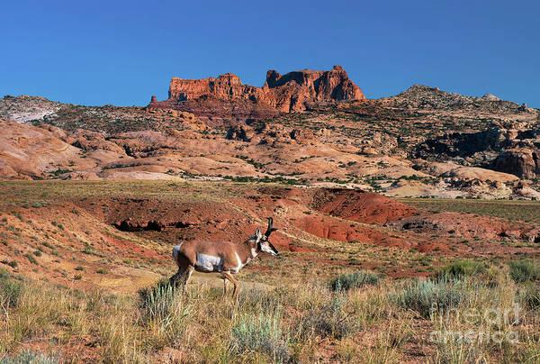 Photograph - Male Pronghorn Antilocarpa Americana Wild Utah by Dave Welling