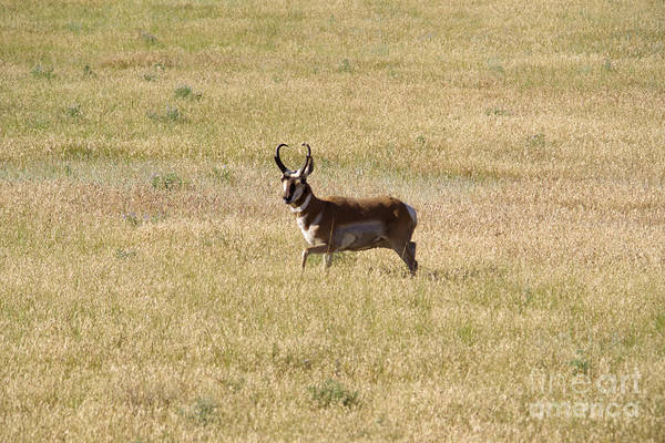Wall Art - Photograph - Male Pronghorn On The Move by Jeff Swan