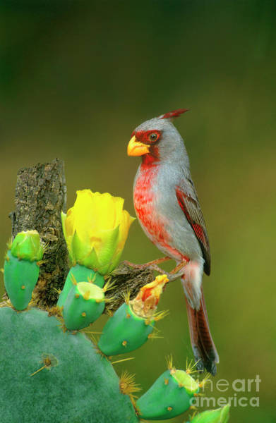 Photograph - Male Pyrrhuloxia Cardinalis Sinatus Wild Texas by Dave Welling