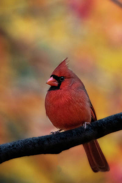 Photograph - Male Red Cardinal In Front Of Fall Foliage by Dan Friend