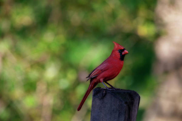 Photograph - Male Red Cardinal On Fence Post by Dan Friend